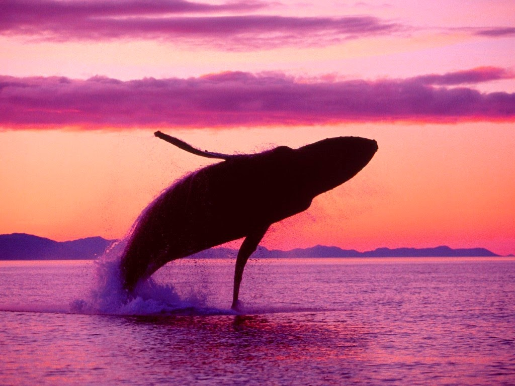humpback-whale-sunset-1024x768